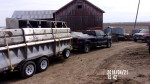 "trailer load of 70 "" feeders headed to Wadena IA"