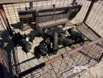 10 piglets of cow