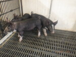 pic 1 of 2 of cow 5-3 boars - 2 are for North Dakota and 1 is for Missouri