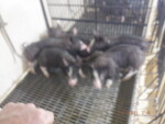 pic 2  of 3 --- 5 gilts out of 5-3 that we are retaining for replacements
