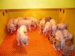 picture 1 or 4  --  50 wean piglet rescue decks at $100 per unit. .