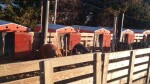 8 Smidley Huts that I want to get rid  >>of. They are only about 1 year old. I put them in use last December and they were brand new at the time. Doors on both ends and pig dividers in them. New they are around 1200 I believe. I gave right at  >>1100.  $800 a piece for them and will also include the waterers I had made for them. Hard to describe without seeing them but it is a super thick piece of 8 inch black pipe with cap on  >>bottom and nipples in them so 2 pens drink out of 1 5 ft pipe. I drop  a 250 watt bird bath heater in them and never have frozen water. They  hold enough that 1 fill a day allows the 2 sows water for 24 hours.